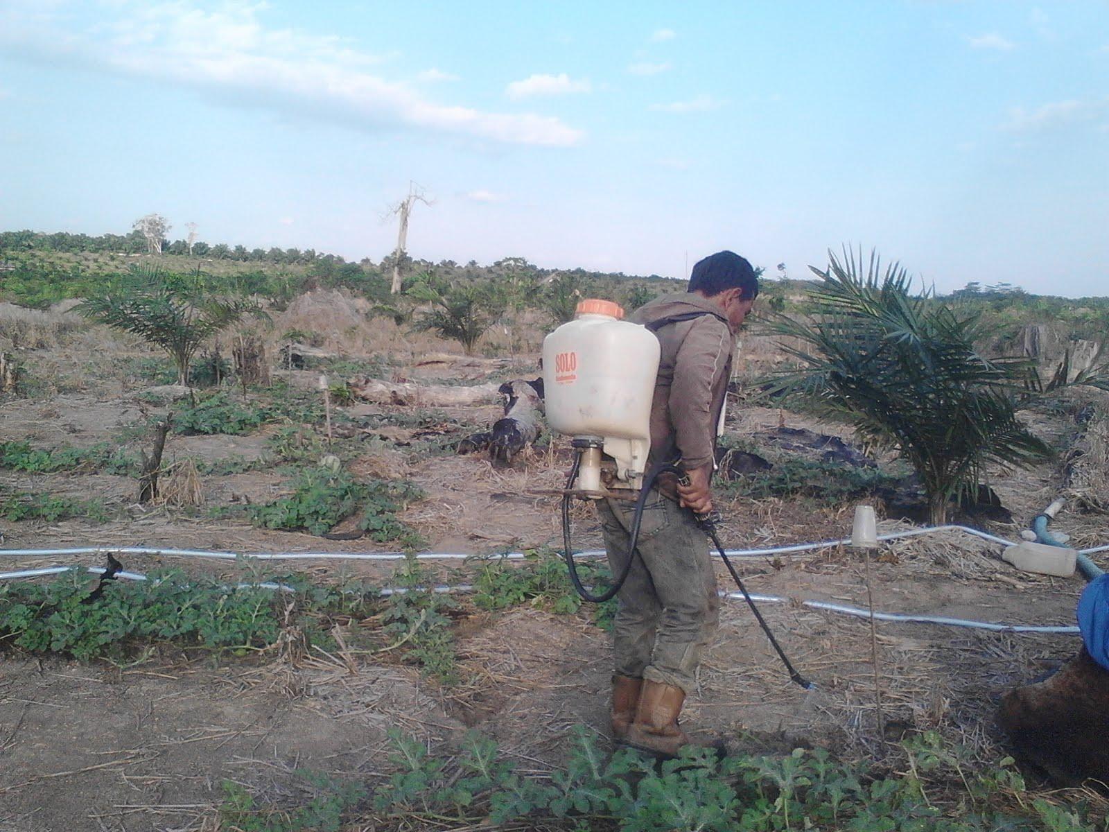 Pengendalian hama pada tanaman semangka