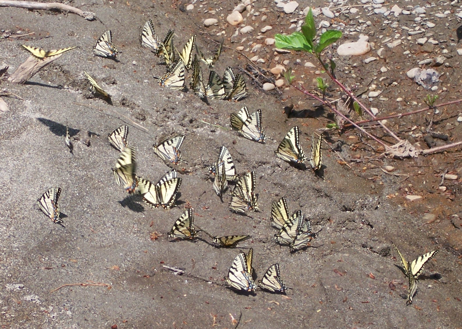 The Tiger Swallowtails are emerging, and there were flocks of them on ...