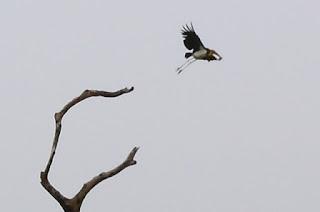 burung bangau tongtong di rawa pagar dewa tulang bawang