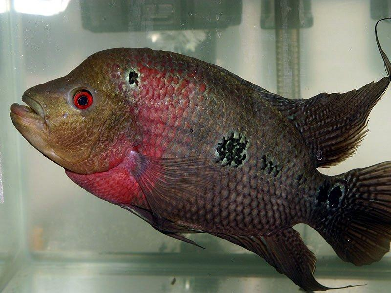 how to care flowerhorn fish