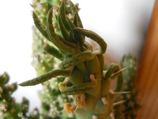 cactus agujas de Eva