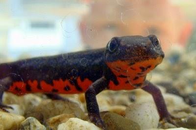 ... : Fire belly newts for sale at joe?s aquaworld Mulund Mumbai