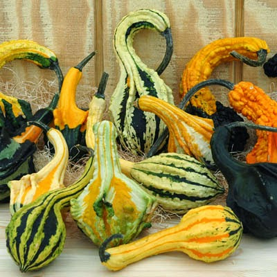Harris Seeds Autumn Wings Gourds