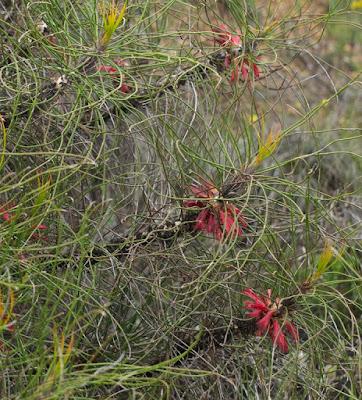 Long-leaved Clawflower (Calothamnus longissimus)