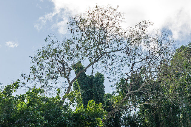 scimmia mauritius monkey maurizius pipistrello bat