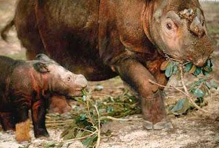 Badak Bercula Dua Sumatra (Dicerorhinus sumatrensis)|Data 7 Hewan Langka Yang Hampir Punah