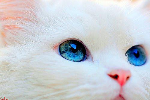 White Baby Kittens With Blue Eyes Tumblr Lindas I...
