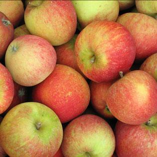 cox orange pippin apples for sale