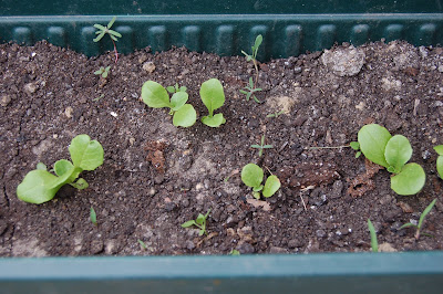 Close up of Garden Babies Lettuce Seedlings