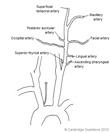 What I learned today...: Mnemonics... Branches of the External ...