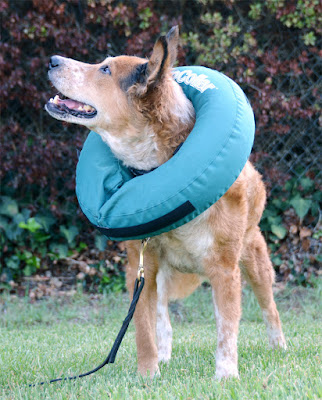 Air collar recovery surgical allergy cone alternative