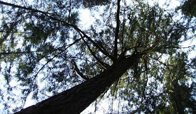 Looking up at a tall douglas fir tree