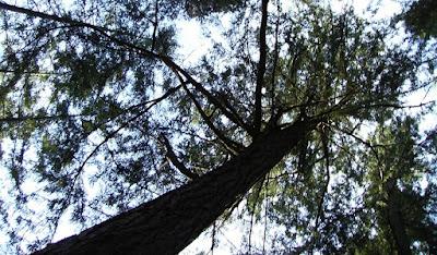 Looking up at a tall douglas fir tree