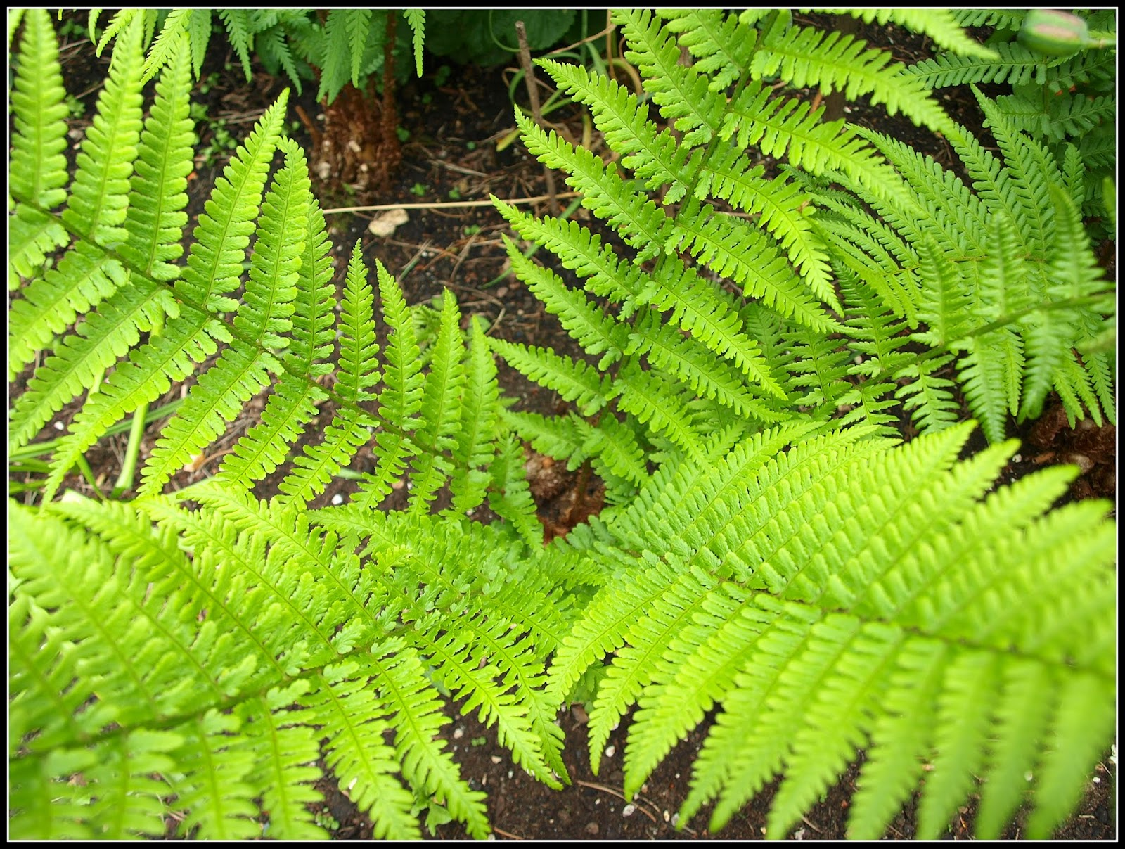 i donu0027t know much about ferns just that there are hundreds of different types so there is bound to be one suitable for just about every different type of - Fern Types