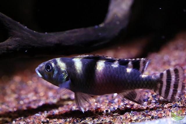 Nanochromis transvestitus / kongo