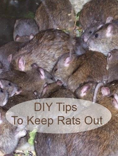 Rats: DIY Tips to Keep Rats Out