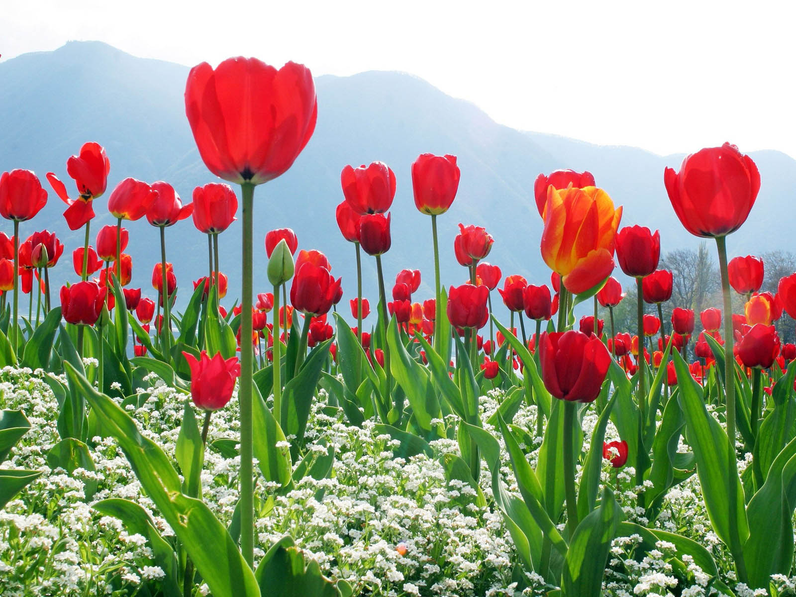 wallpapers Red Tulips Wallpapers