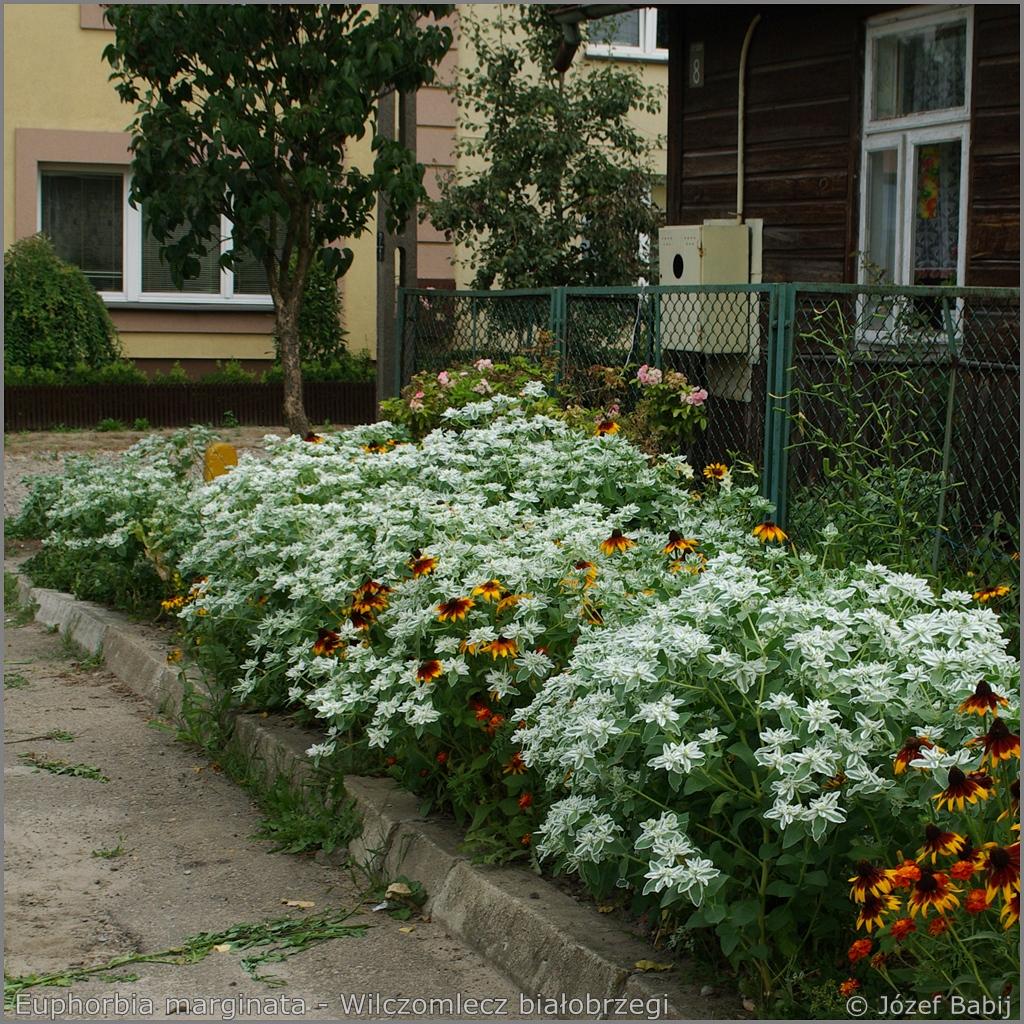 Euphorbia marginata example of the application   - Wilczomlecz białobrzegi  przykład zastosowania