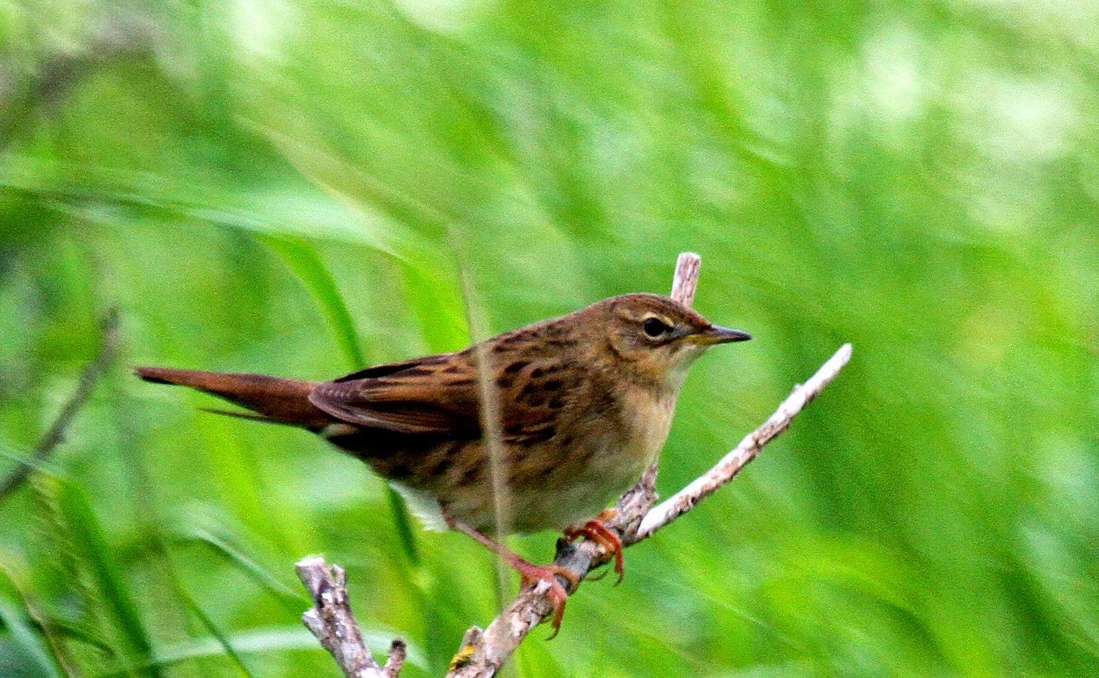 Soil Hill Grasshopper Warbler