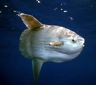 pez-luna-animales-raros