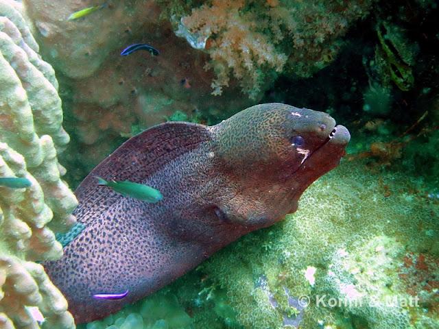 Giant Moray Eel, Koh Lipe, Straits of malacca, thailand