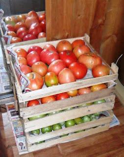7.08. Снятые бланжевыми помидорки потом отлично доспевают в ящичках в помещении.