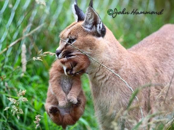 Persian Cat Rescue Colchester