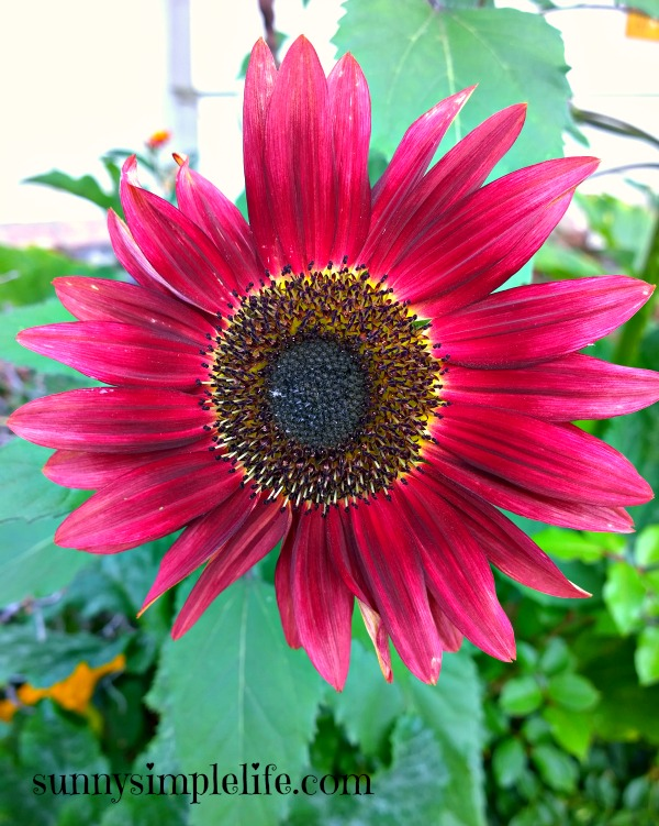 Growing Sunflowers: Tips and My Favorites For 2015, velvet queen sunflower, red sunflower