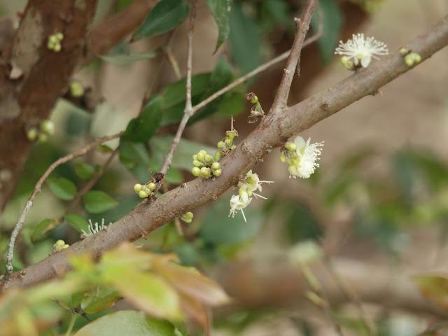 樹葡萄(嘉實果)花苞與開花