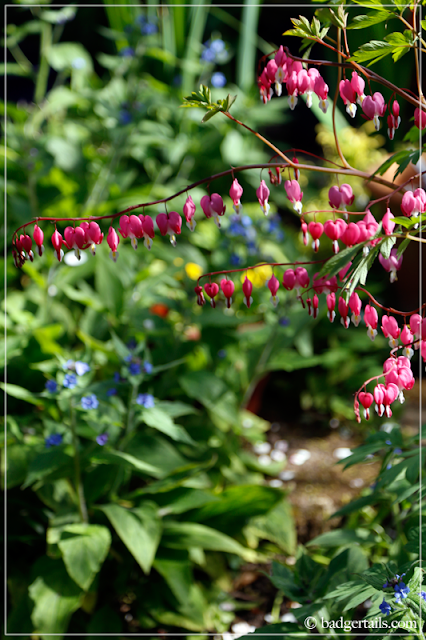 Pink Dicentra Spectabilis (Bleeding Hearts)