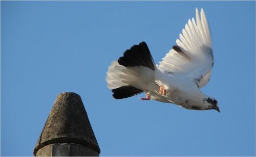 livre para voar pomba levantando voo livre para voar