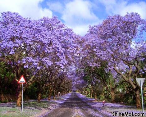 Jacarandas Walk in South Africa
