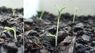Espinafre a germinar