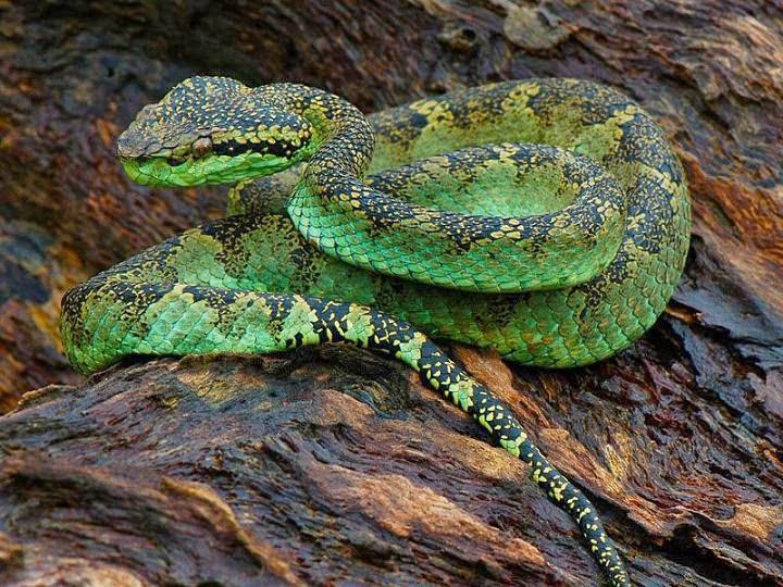 đảo rắn Iiha da Queimada Grande brazil