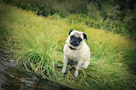 Corky the Buddhist Pug