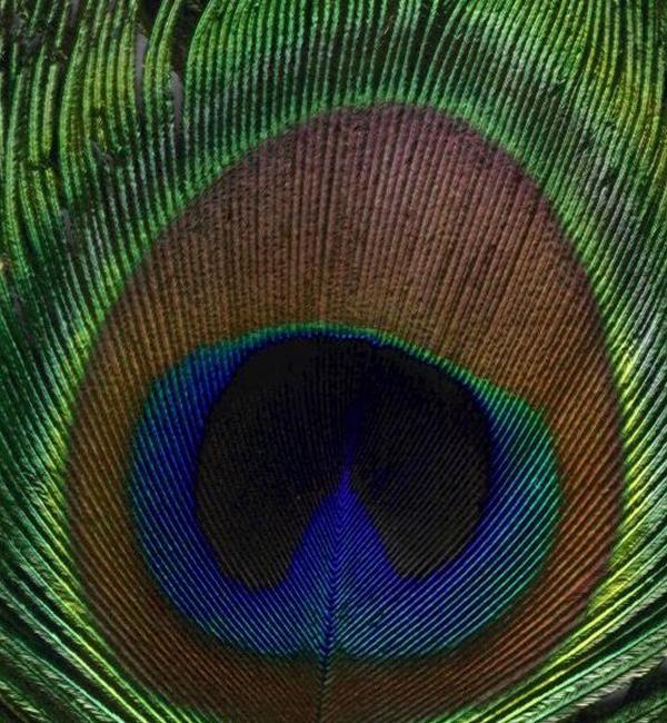peacock feather rebecca suzanne