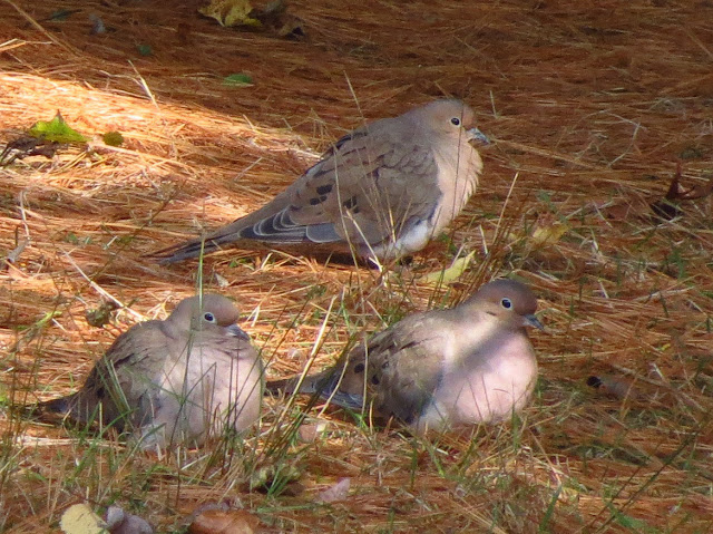 mourning doves in pine needles