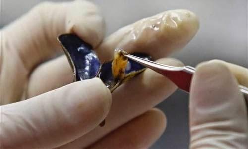 El mejillón dorado pone en riesgo al Amazonas