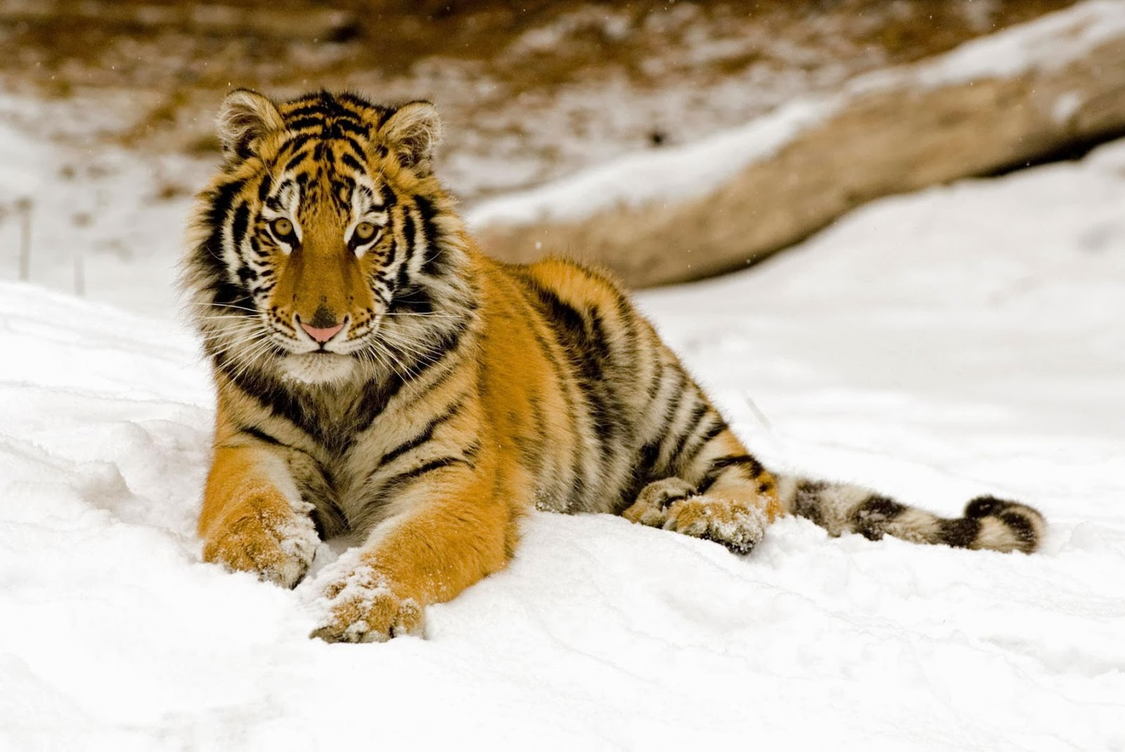 snowy afternoon tiger wallpapers - Snowy Afternoon Tiger Wallpapers HD Wallpapers