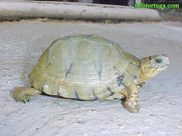 Terrapene carolina yucatana - Yucatan box turtle
