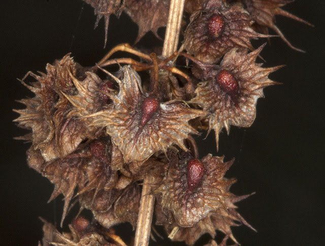 Seeds of Broad-leaved Dock, Rumex obtusifolius.  Nashenden Down Nature Reserve, 14 April 2012.