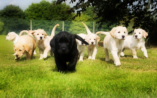 Group of Retrievers Puppies
