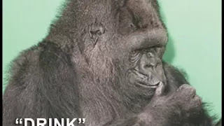 Koko the gorilla, who has shown the researchers that apes could very well learn to speak one day