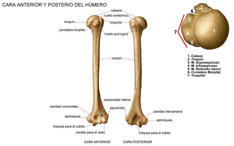 Anatomía General: Sistema Óseo: Huesos del Miembro Superior II