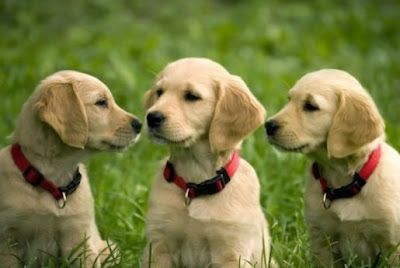 Golden Retriever Puppies Pictures