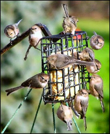 flying pigs attack - finches swarm suet photo