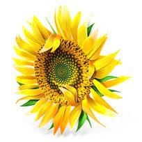 3rd Anniversary Gift Sunflower Flower