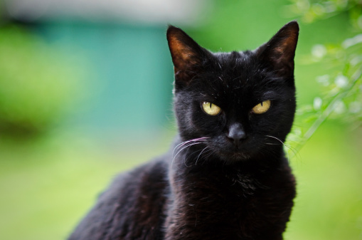 News At Your Desk Why Black Cat Is A Symbol Of Bad Luck