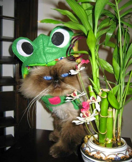 Infrognito! Frog costume hat for cats
