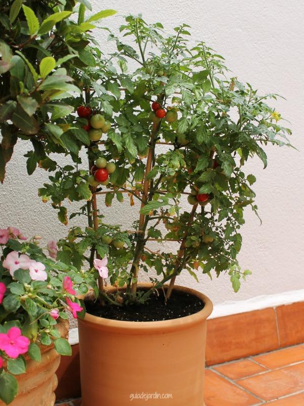 cultivo tomate cherry maceta